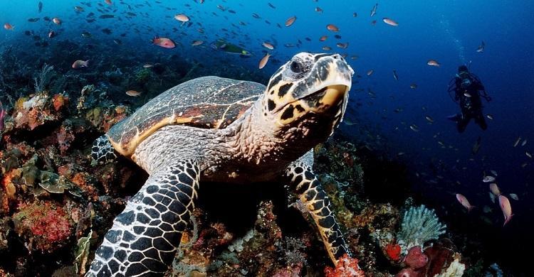 Hawksbill Turtle Eretmochelys imbricata © Robert Harding