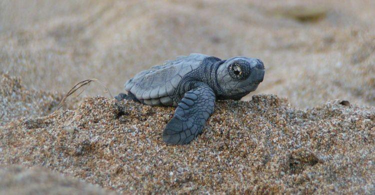 Baby Loggerhead turtle, Crete © Alan Rees