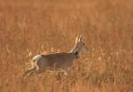 Mongolian Gazelle in Central Asia - © Thomas Mueller