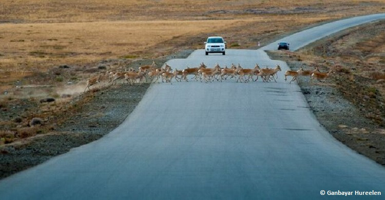 growing number of railways, roads, pipelines, and fences increasingly threatens large migratory mammals such as Mongolian gazelles in Central Asia. CREDIT: Copyright Ganbayar Hureelen.