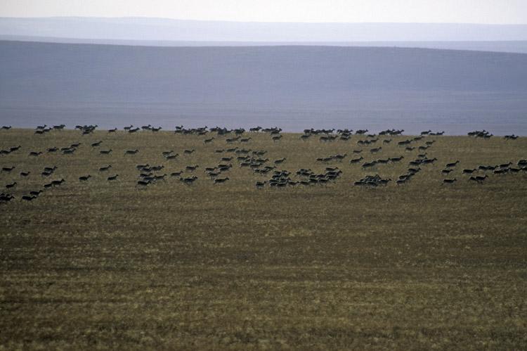 Gacelas de Mongolia - estepa oriental © Petra Kaczensky