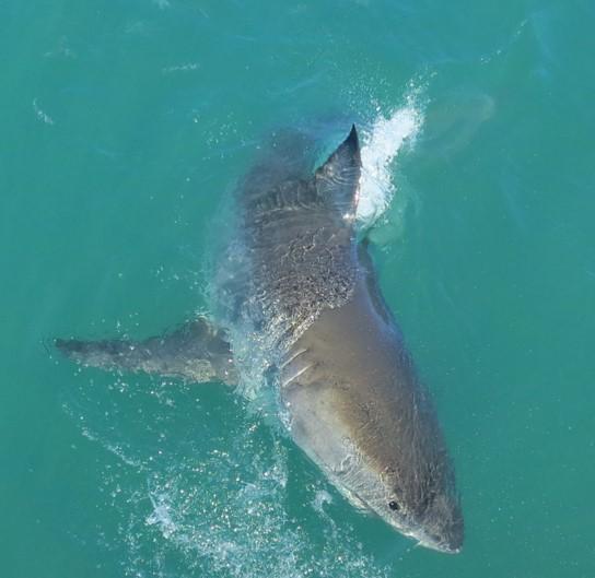 130702 Great White Shark