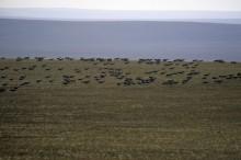 Gazelles de Mongolie – Steppe orientale, Mongolie © Petra Kaczensky