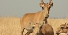 Saiga Antelope (Saiga tatarica) - © Navinder Singh