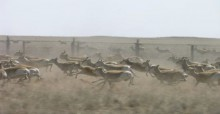 Mongolian Gazelles at border fence  © Badamjav Lkhagvasuran