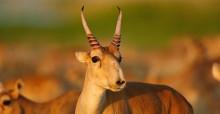 Saiga Antelope © P. Romanow