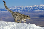 Pantera de las nieves © Gerard Lacz/Image Broker Robert Harding