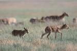 Saiga Antelope in the Stepnoi Reserve -  E. Polonskiy