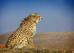 Asiatic Cheetah © Morteza Eslami