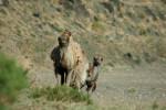 Camello bactriano © Petra Kaczensky