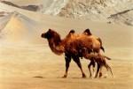 Wild Camel - © John Hare