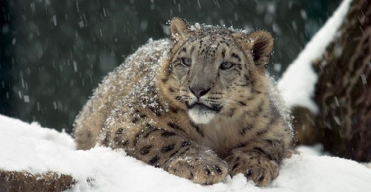 Snow Leopard © Martin Forster