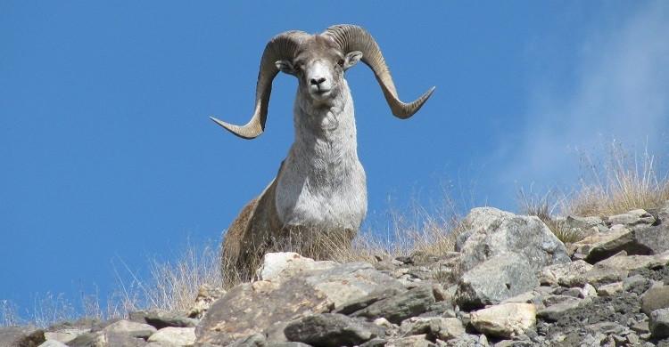Argali sheep (Ovis ammon) © Askar Davletbakov