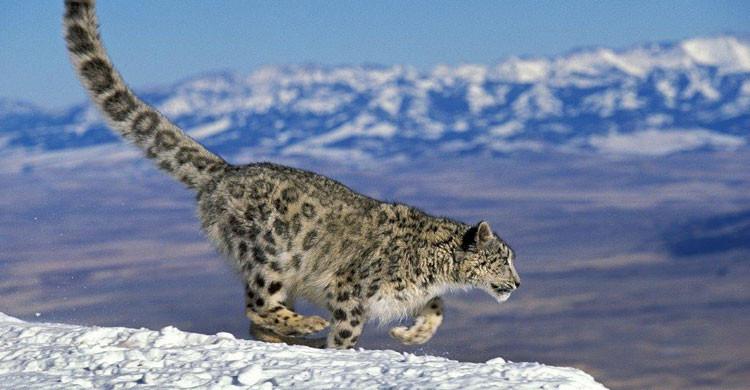 Snow Leopard (Panthera uncia) © Gerard Lacz/Robert Harding Image Broker