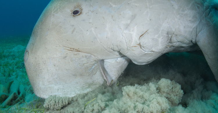 A dugong foraging seagrass. Photo courtesy of Fergus Kennedy.