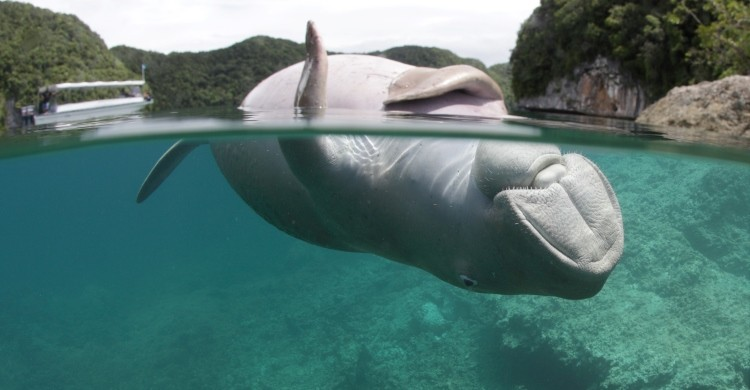 Dead dugong in Palau waters. © Mandy Etpison