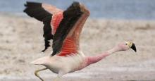 Andean Flamingo (Phoenicopterus andinus) © Omar Rocha