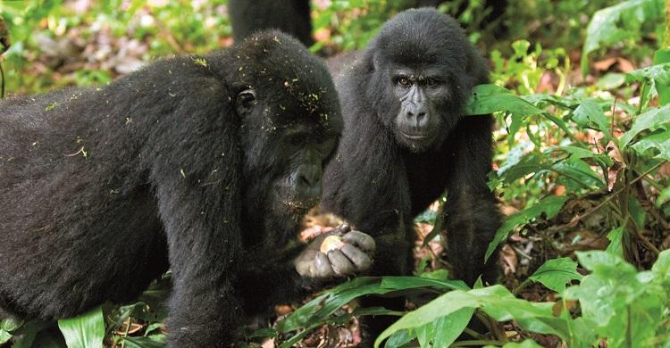 Gorillas © Mondberge