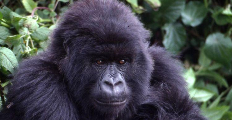 Young Mountain Gorilla © Ian Redmond