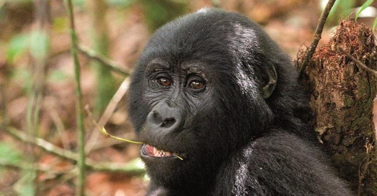 Gorilla © Mondberge