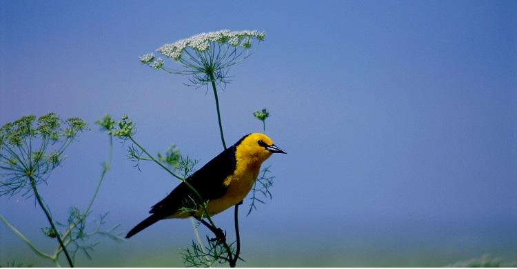 Male Saffron-cowled Blackbird