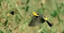 A female Saffron-cowled Blackbird