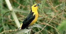 Saffron-cowled Blackbird