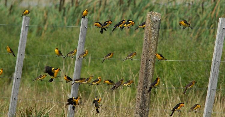 Safron-cowled Blackbirds