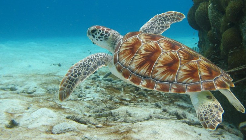 Green turtle © Robert Van Dam