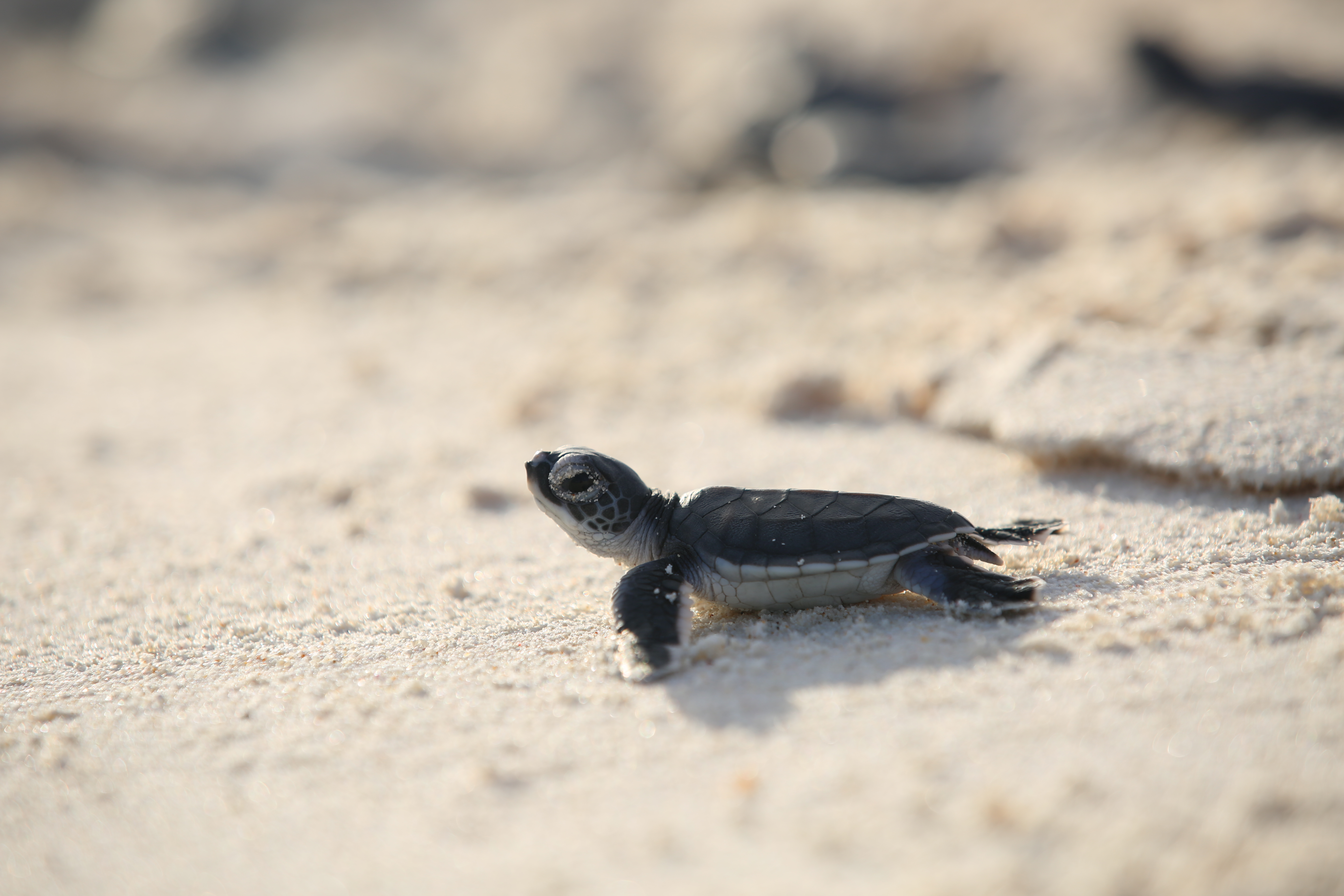 Figure 3. A green turtle hatchling making its way to the ocean. © Cousine Island Conservation Management
