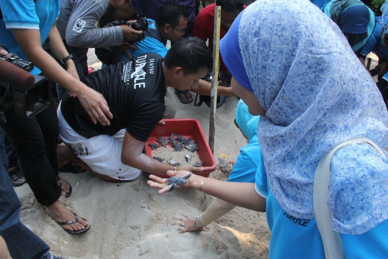 turtle hatchlings at Chagar Hutang