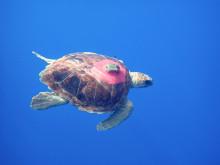 Sub-adult Loggerhead Turtle with Argos tag © Kelonia