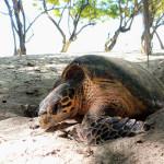 Figure 2. Nesting hawksbill turtle on Cousine Island. © Cousine Island Conservation Management