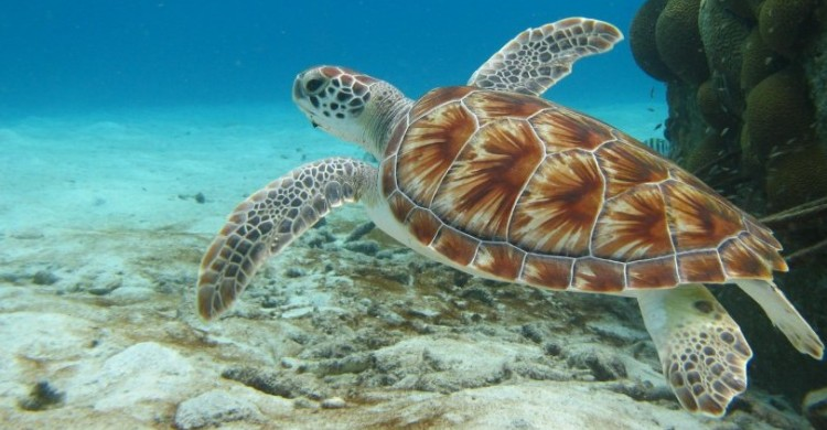Green turtle © Robert Van Dam