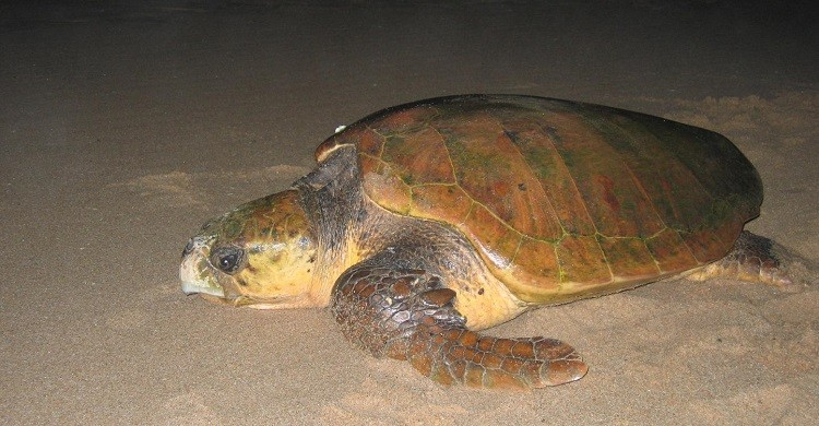 Loggerhead Turtle  © G R Hughes