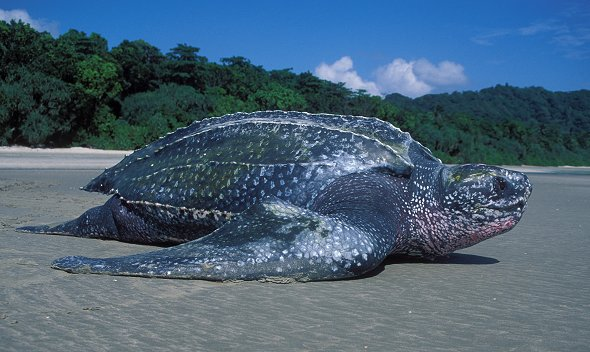 Leatherback Turtle (Dermochelys coriacea) | IOSEA Marine Turtles