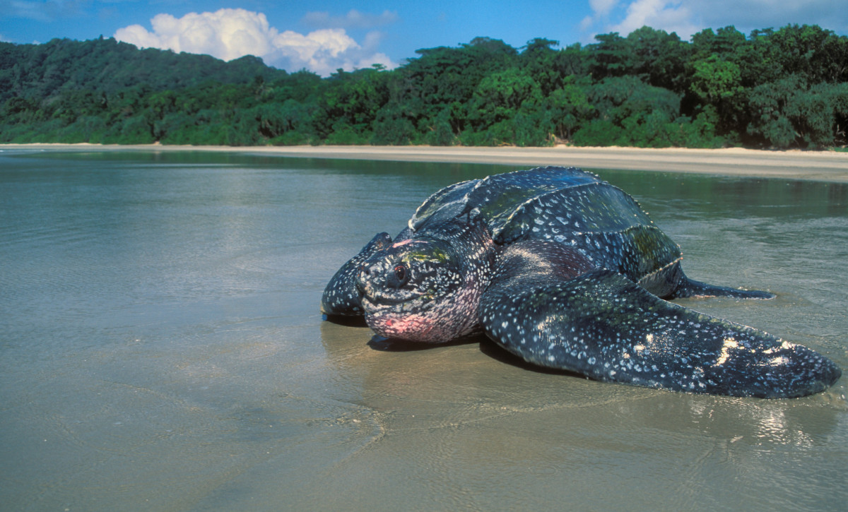 Leatherback sea turtle pictures in the water - photo#29
