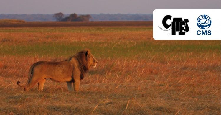 African lion (Panthera leo) © Neil Midlane/Panthera