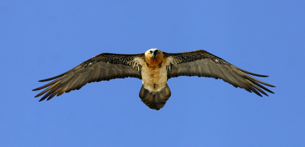 Bearded Vulture © András Kovács, www.raptorimages.hu