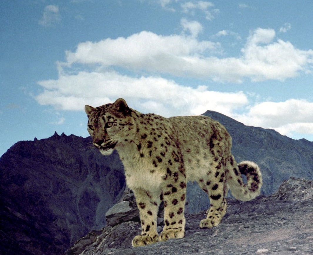 Photo Credit: Snow Leopard Conservancy