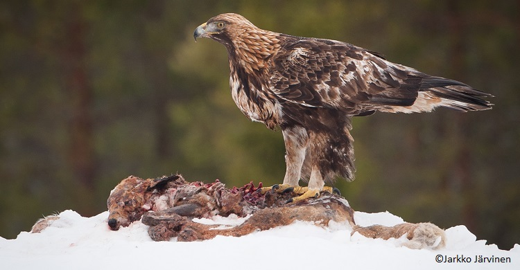 Photo credit: Golden eagle (Aquila chrysaetos) by Jarkko Järvinen - Flickr, CC BY-SA 2.0, https://commons.wikimedia.org/w/index.php?curid=31845756