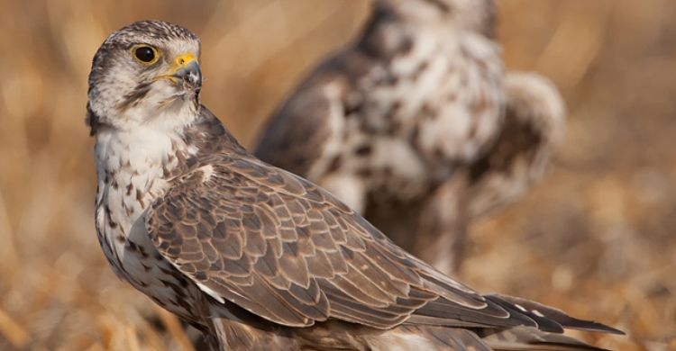 Saker Falcon (Falco cherrug)  © Gabor Papp www.raptorimages.hu