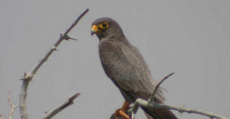 Sooty Falcon (Falco concolor) © Nick P. Williams