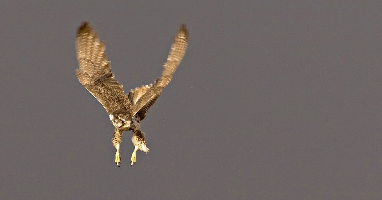 Female Saker Falcon. © Gabor Papp www.raptorimages.hu