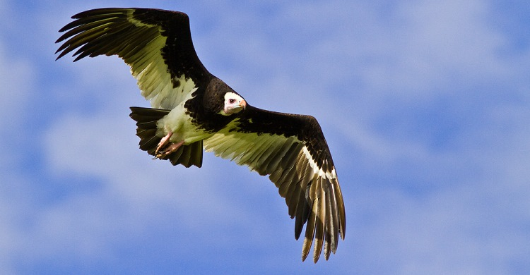 White-headed Vulture (Trigonoceps occipitalis) is classified as Critically Endangered by the IUCN. © André Botha