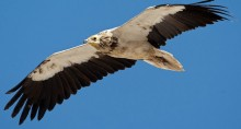 Egyptian Vulture © Torsten Prohl