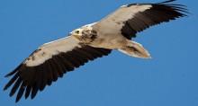 Egyptian Vulture © Torsten Prohl