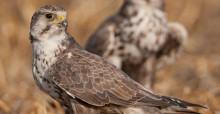 Saker Falcon (Falco cherrug) © Gabor Papp - www.raptorimages.hu