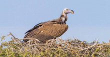 Lappet-faced Vulture © Ahmed Al-Dhaheri