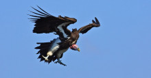 Lappet-faced Vulture © Andre Botha
